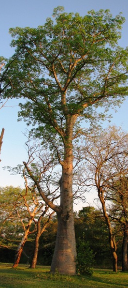 jonge baobab boom